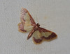 Red-and-white Wave - 7110<br /> Idaea basinta <br /> Madera Canyon, AZ