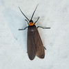 Grapeleaf Skeletonizer Moth  Harrisina americana