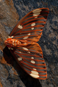 Citheronia regalis