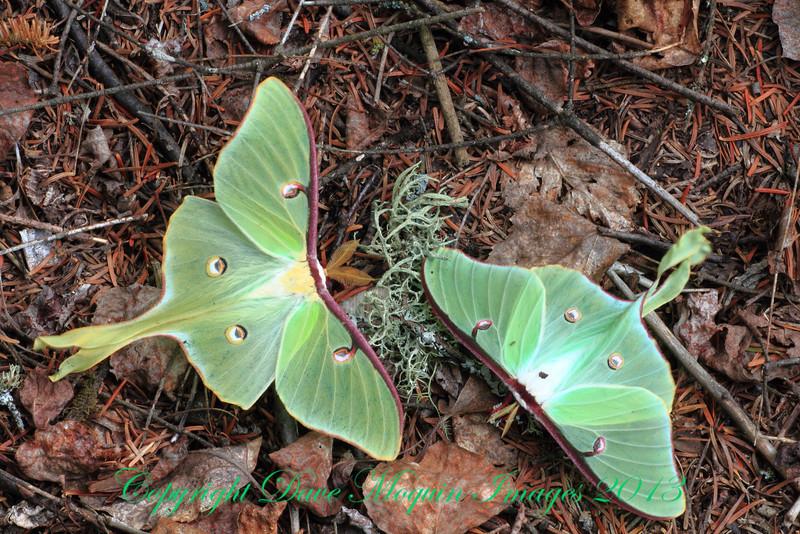 Luna Moths- Sax-Zim Bog