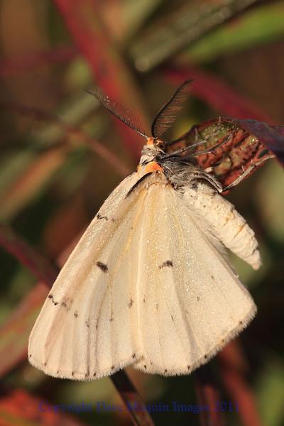 Tiger Moth- Abel Prairie, Crex Meadows