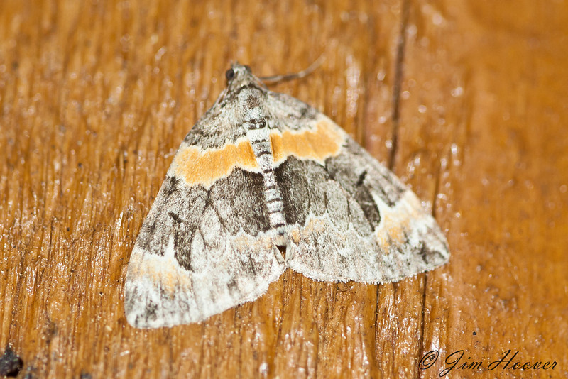 Orange-barred Carpet Moth - 7189<br /> Dysstroma hersiliata <br /> Arlington, VT