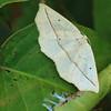 Moth- Sherburne NWR