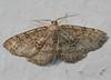 Signate Melanolophia Moth <br /> Melanolophia signataria