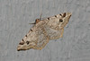 Pale-Marked Angle Moth <br /> Macaria signaria