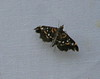 Recondite Webworm Moth - 5174<br /> Diathrausta reconditalis <br /> Madera Canyon, AZ