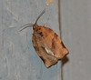 Spotted Fireworm Moth <br /> Choristoneura parallela
