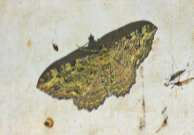 Lunate Zale Moth