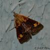 Orange-spotted Pyrausta Moth<br /> Pyrausta orphisalis
