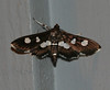 Grape Leaffolder Moth <br /> Desmia funeralis