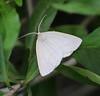 6858 - Lychnosea Moth<br /> Lychnosea intermicata<br /> Santa Ana NWR, TX