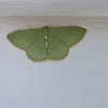 Red-Bordered Emerald Moth (Nemoria lixaria)