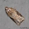 Gray-banded Leafroller - Hodges #3625<br /> Argyrotaenia mariana