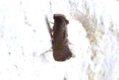 H00345  P104AcrolophusCockerelliDup846 Aug. 18, 2011   7:10 a.m.  P1040846 Acrolophus cockerelli Tubeworm Moth, at LBJ WC.  Acrolophid.