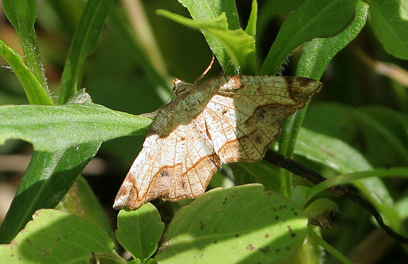 Dogwood Probole Moth<br /> Probole alienaria