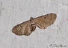 Mather's Eupithecia Moth <br /> Eupithecia matheri <br /> Jefferson Hills, PA