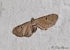 Mather's Eupithecia Moth <br /> Eupithecia matheri <br /> Jefferson Hills, PA