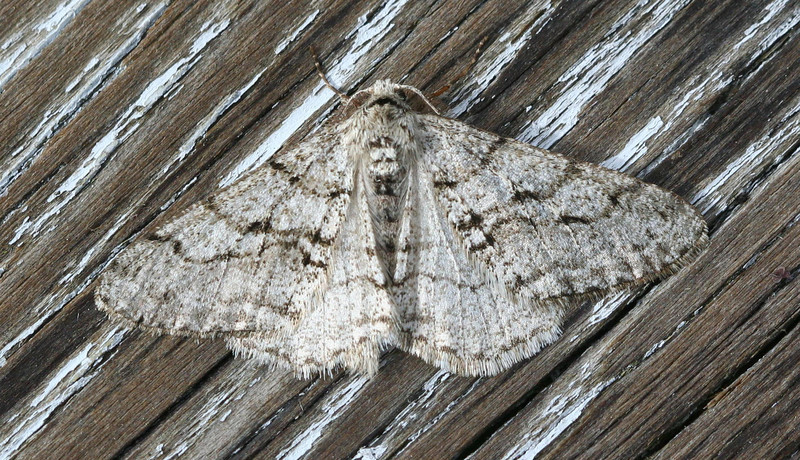 The Half-wing Moth<br /> Phigalia titea