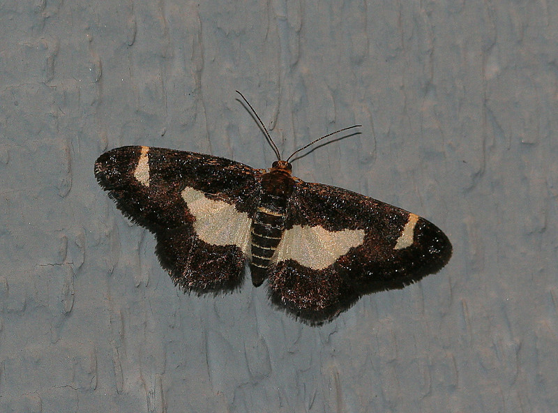 Common Spring Moth <br /> Heliomata cycladata