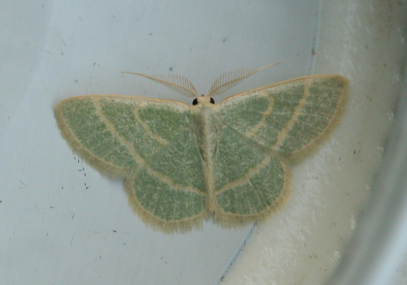 Blackberry Looper Moth <br /> Chlorochlamys chloroleucaria
