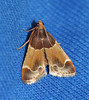 Meal Moth - 5510<br /> Pyralis farinalis