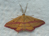 Chickweed Geometer Moth<br /> Haematopis grataria