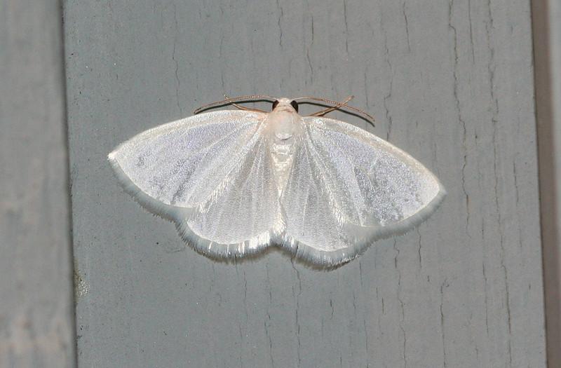 White Spring Moth<br /> Lomographa vestaliata
