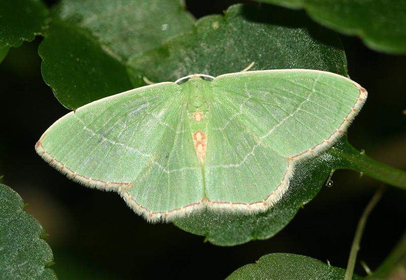 Red-fringed Emerald Moth<br /> Nemoria bistriaria