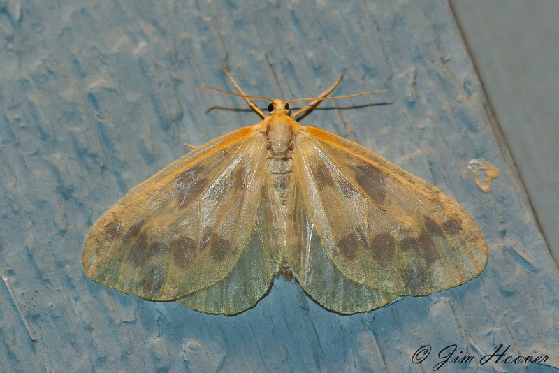 The Beggar Moth <br /> Eubaphe mendica <br /> Jefferson Hills, PA
