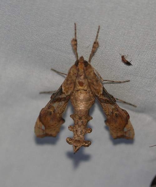 Erythrina borer - 5239<br /> Terastia meticulosalis <br /> Madera Canyon, AZ