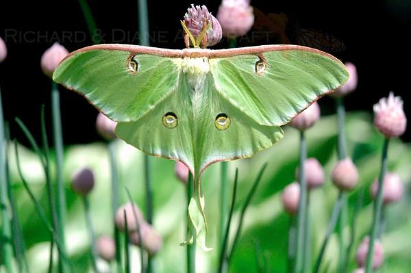 Luna moth on Allium