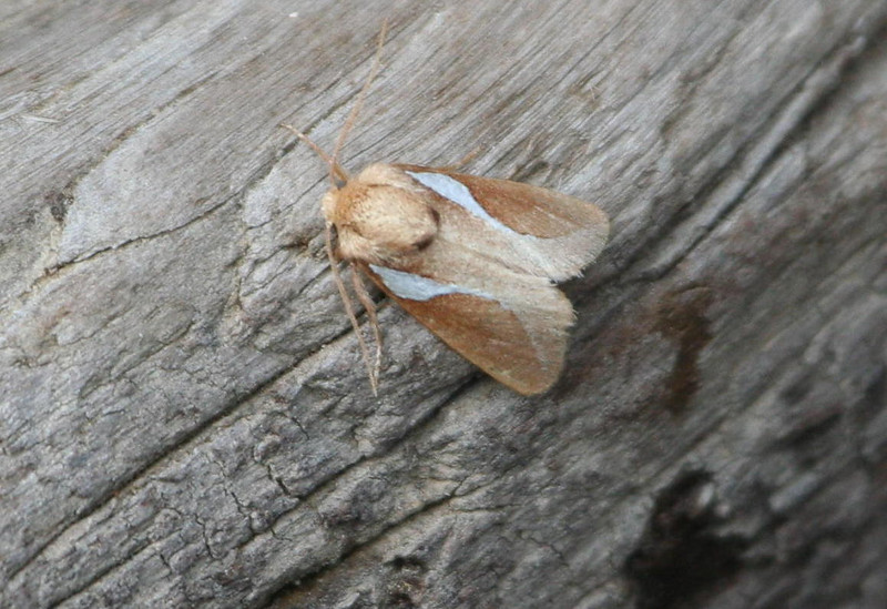 Western Skiff Moth - 4670<br /> Prolimacodes trigona<br /> Madera Canyon
