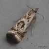 Elegant Grass-veneer Moth<br /> Microcrambus elegans