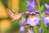 White-lined Sphinx Moth at Blue Flag Iris- Red Barn