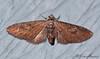 7514 - Eupithecia biedermanata<br /> Madera Canyon<br /> Santa Rita Mts, AZ