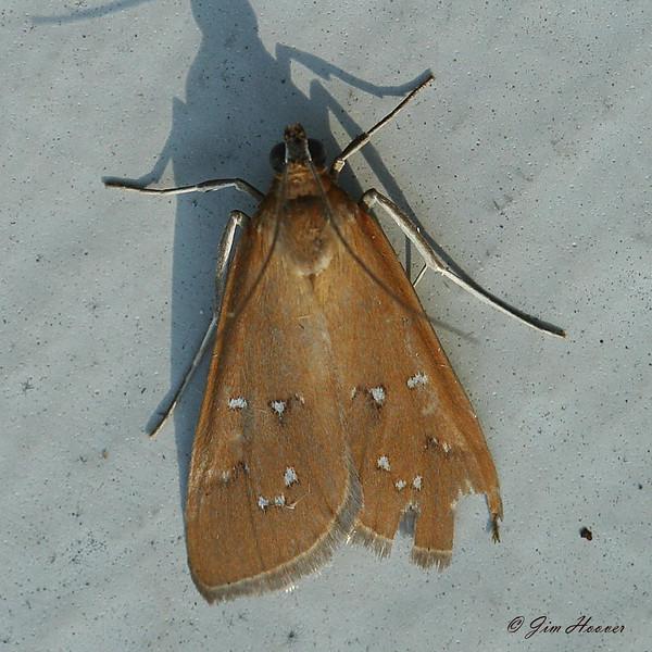 White-spotted Orange Moth<br /> Diastictis argyralis