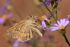 Celery Looper Moth- Sherburne NWR