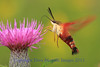 Hummingbird Clearwing Moth- Pleasant Prairie Rd.