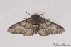 Peppered Moth<br /> Biston betularia<br /> Arlington, VT