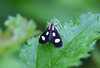 White-spotted Sable Moth <br /> Anania funebris glomeralis