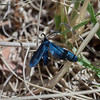 Western Grapeleaf Skeletonizer - Hodges #4623<br /> Harrisina metallica<br /> Madera Canyon