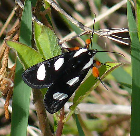 Eight-spotted Forester Moth