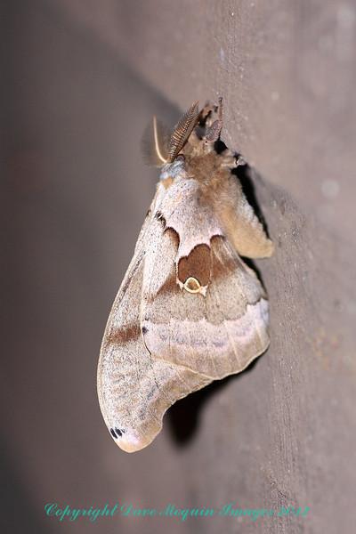 Polyphemus Moth- Crex Restrooms
