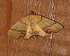 Straight-lined Plagodis - Hodges #6842<br /> Plagodis phlogosaria<br /> Arlington, VT
