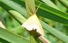 Chickweed Geometer Moth
