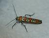 Ailanthus Webworm Moth<br /> Atteva punctella