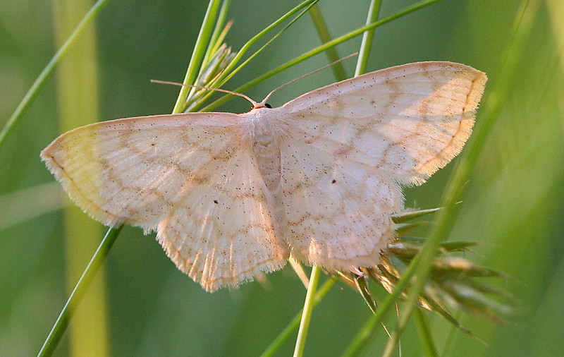 Large Lace-border Moth <br /> Scopola limboundata