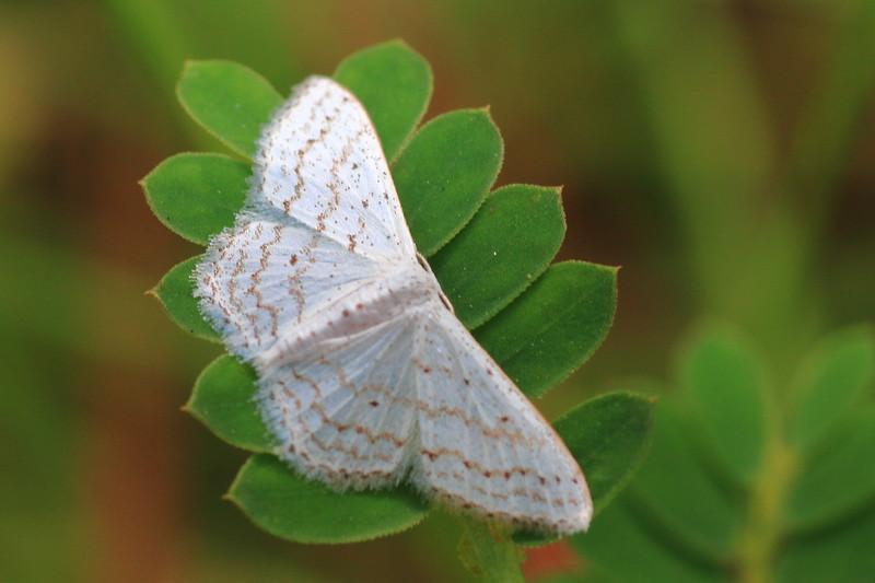 Moth- Big Thicket National Preserve