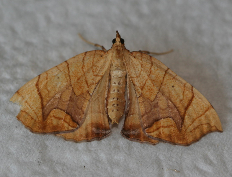 Lesser Grapevine Looper Moth <br /> Eulithis diversilineata