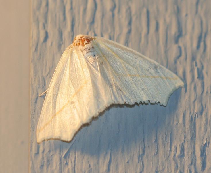 White Slant-line Moth<br /> Tetracis cachexiata